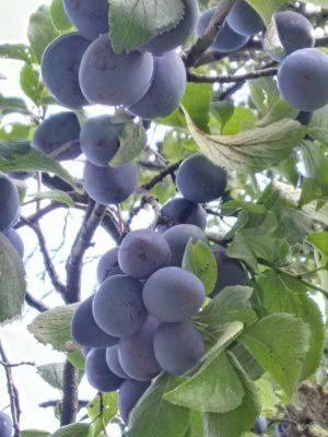 Bio Zwetschken aus unserem Obstgarten
