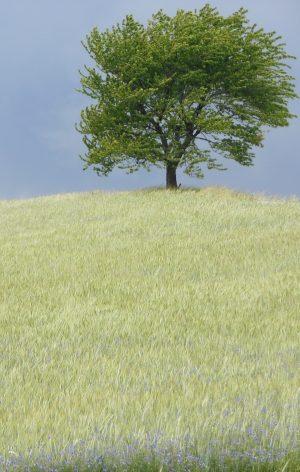 Bio-Einkorn Feld mit Baum